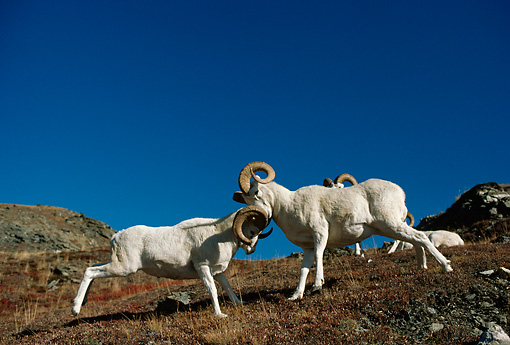 WLD 15 TL0025 01 © Kimball Stock Two Dall Sheep Rams Butting Heads On Mountain Slope Blue Sky