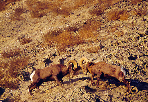WLD 15 TL0026 01 © Kimball Stock Bighorn Sheep Rams Butting Heads On Rocky Hillside