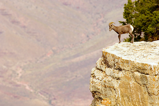 WLD 15 TL0027 01 © Kimball Stock Desert Bighorn Sheep Ram Standing At Edge Of Cliff At Grand Canyon