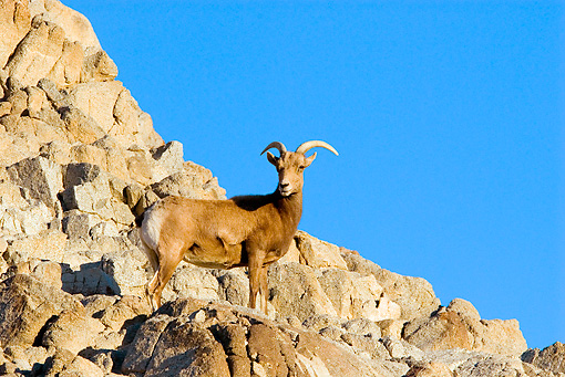 WLD 15 TL0028 01 © Kimball Stock Desert Bighorn Sheep Ewe Standing On Rocky Hillside Blue Sky