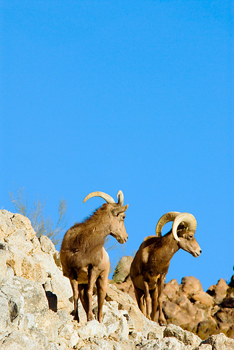WLD 15 TL0029 01 © Kimball Stock Desert Bighorn Sheep Ewe And Ram Standing On Rocky Hillside Blue Sky