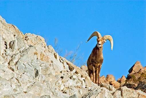 WLD 15 TL0030 01 © Kimball Stock Desert Bighorn Sheep Ram Standing On Rocky Hillside Blue Sky