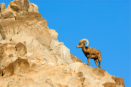 WLD 15 TL0031 01 © Kimball Stock Desert Bighorn Sheep Ram Standing On Rocky Hillside Blue Sky