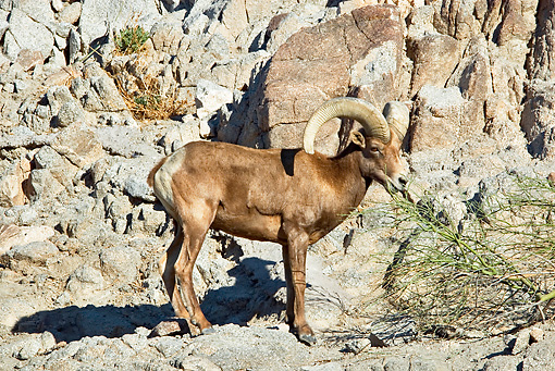WLD 15 TL0032 01 © Kimball Stock Desert Bighorn Sheep Ram Grazing By Rocks