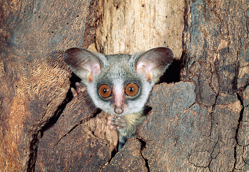 WLD 17 MH0001 01 © Kimball Stock Lesser Bushbaby Sitting Inside Hollow Tree Trunk