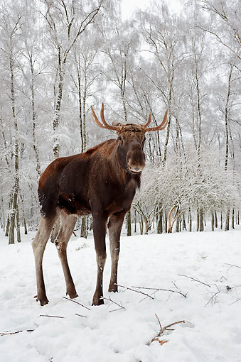 WLD 20 AC0002 01 © Kimball Stock European Moose Standing In Snowy Forest