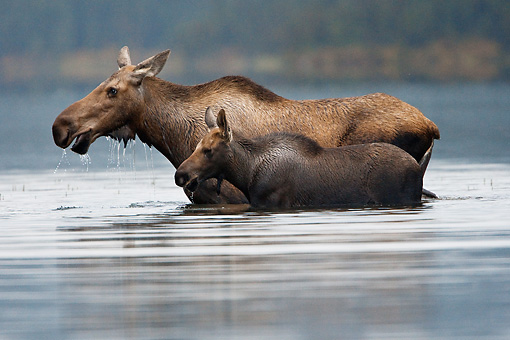WLD 20 MC0001 01 © Kimball Stock Moose Cow And Calf Walking Through Lake Alaska