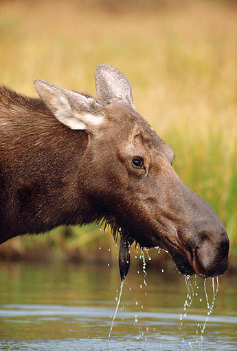 WLD 20 MC0002 01 © Kimball Stock Portrait Of Moose Drinking From Lake Wyoming