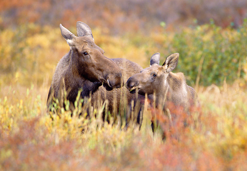 WLD 20 MC0003 01 © Kimball Stock Portrait Of Moose Cow And Calf In Field Alaska