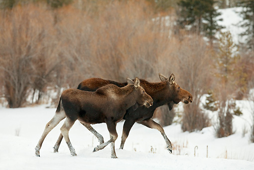 WLD 20 RF0009 01 © Kimball Stock Shiras Moose Cow And Calf Running In Snow