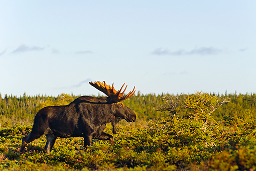 WLD 20 TK0004 01 © Kimball Stock Bull Moose Walking Through Boreal Forest Nova Scotia