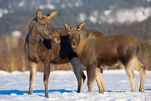WLD 20 WF0001 01 © Kimball Stock Moose Mother And Calf Standing On Snow