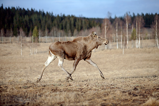 WLD 20 WF0003 01 © Kimball Stock Moose Cow Running On Plains