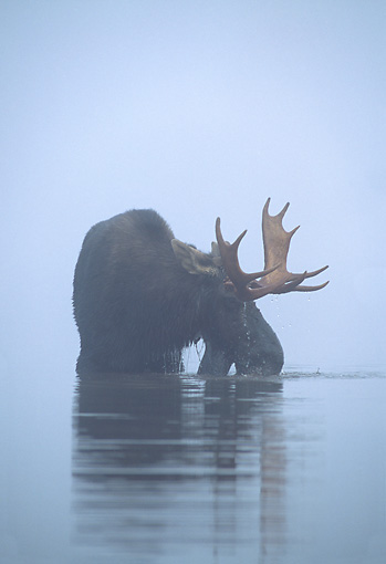 WLD 20 WF0005 01 © Kimball Stock Portrait Of Bull Moose Standing In Misty Lake