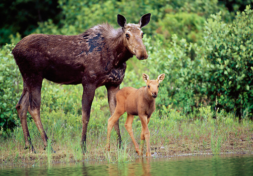WLD 20 CE0001 01 © Kimball Stock Moose Mother And Baby Standing At Pond Edge