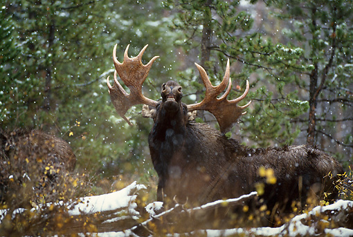 WLD 20 DB0001 01 © Kimball Stock Shiras Bull Moose Displaying Lip Curl In Woods In Snow