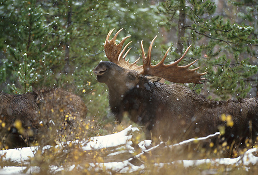 WLD 20 DB0001 02 © Kimball Stock Shiras Bull Moose Displaying Lip Curl In Woods In Snow