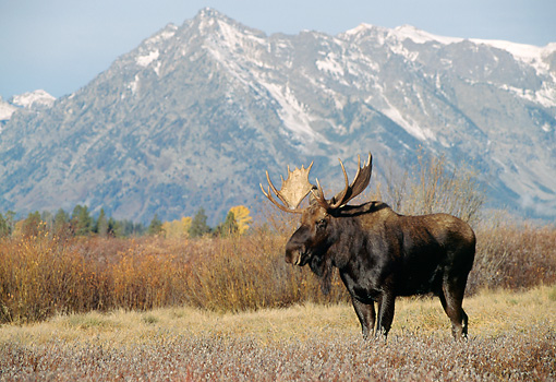 WLD 20 TK0002 01 © Kimball Stock Bull Moose Standing In Field By Mountains Wyoming
