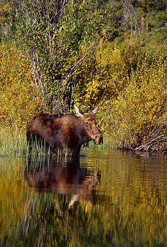 WLD 20 TL0004 01 © Kimball Stock Bull Moose Standing In Water