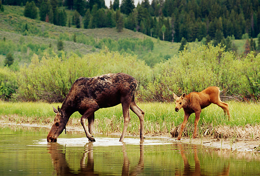 WLD 20 TL0005 01 © Kimball Stock Profile Of Moose Cow And Calf Drinking From River By Foliage Hills And Trees