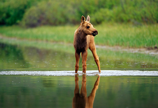 WLD 20 TL0006 01 © Kimball Stock Moose Calf Standing In Shallow Water Of Still Pond