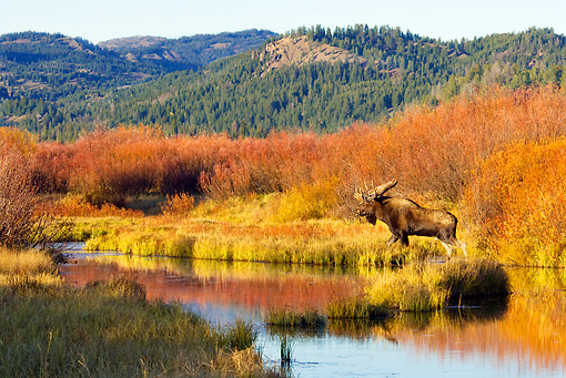WLD 20 TL0007 01 © Kimball Stock Bull Moose Standing At Edge Of Pond By Grass Shrubs Mountains Autumn