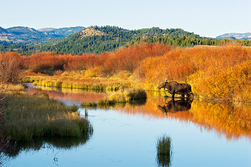 WLD 20 TL0010 01 © Kimball Stock Cow Moose Standing At Edge Of Pond By Grass Shrubs Mountains Autumn