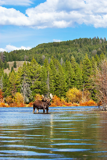 WLD 20 TL0011 01 © Kimball Stock Bull Moose Standing In Shallow Water By Grass Shrubs Mountains Autumn