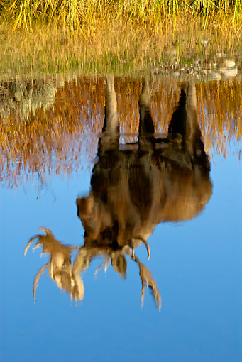 WLD 20 TL0012 01 © Kimball Stock Reflection Of Bull Moose Standing In Grass At Edge Of Pond Autumn