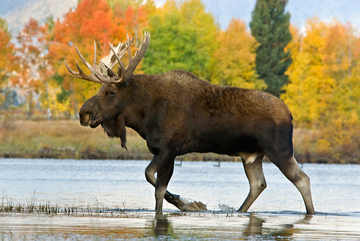 WLD 20 TL0013 01 © Kimball Stock Bull Moose Wading In Shallow Water By Autumn Trees