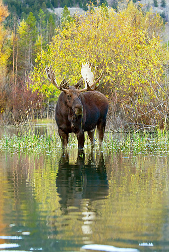 WLD 20 TL0015 01 © Kimball Stock Bull Moose Wading In Shallow Water By Autumn Trees