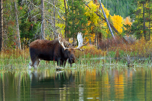 WLD 20 TL0016 01 © Kimball Stock Bull Moose Wading In Shallow Water By Autumn Trees