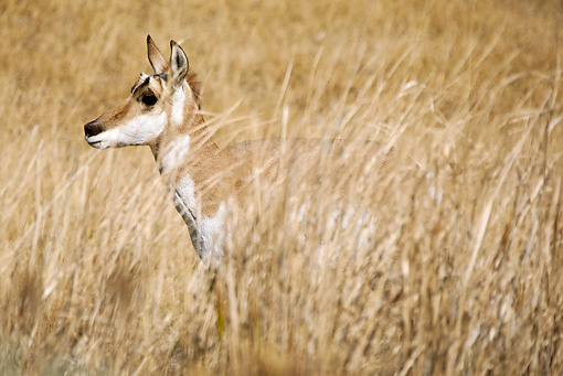 WLD 21 MC0001 01 © Kimball Stock Pronghorn Doe Standing In Tall Dry Grass Yellowstone National Park