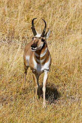 WLD 21 MC0004 01 © Kimball Stock Pronghorn Buck Walking Through Field Yellowstone National Park
