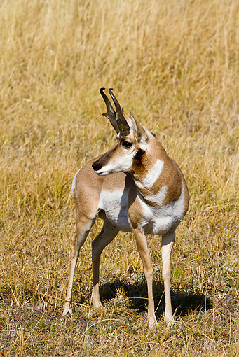 WLD 21 MC0005 01 © Kimball Stock Pronghorn Buck Standing On Field Yellowstone National Park