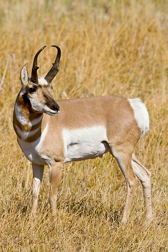WLD 21 MC0006 01 © Kimball Stock Pronghorn Buck Standing On Field Yellowstone National Park