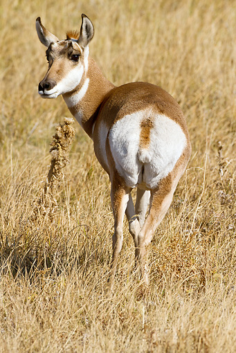 WLD 21 MC0007 01 © Kimball Stock Back View Of Pronghorn Doe Standing On Field Yellowstone National Park