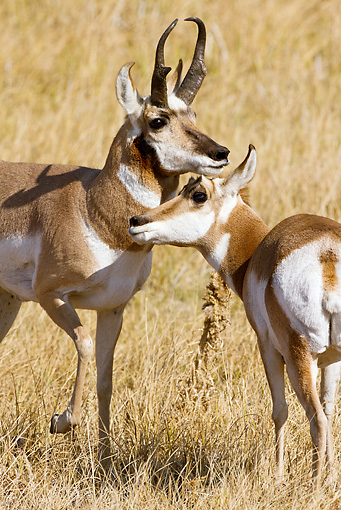WLD 21 MC0008 01 © Kimball Stock Pronghorn Buck And Doe Standing On Field Yellowstone National Park