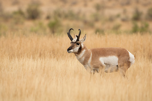 WLD 21 MC0010 01 © Kimball Stock Pronghorn Antelope Standing In Grass, Yellowstone National Park, USA