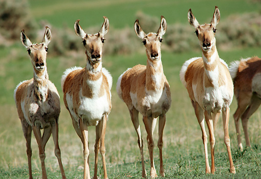 WLD 21 TL0001 01 © Kimball Stock Four Pronghorn Antelope Standing Side By Side Staring At Camera