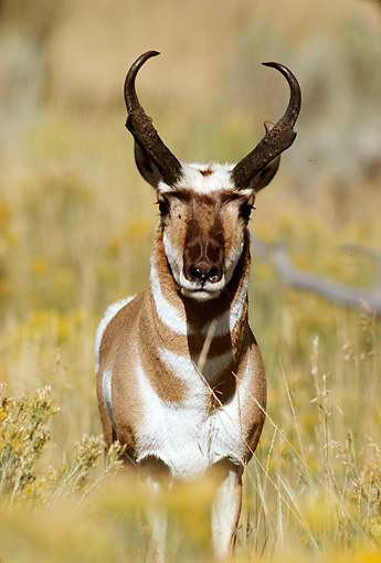 WLD 21 TL0002 01 © Kimball Stock Portrait Of Pronghorn Antelope Buck Standing In Field Facing Camera