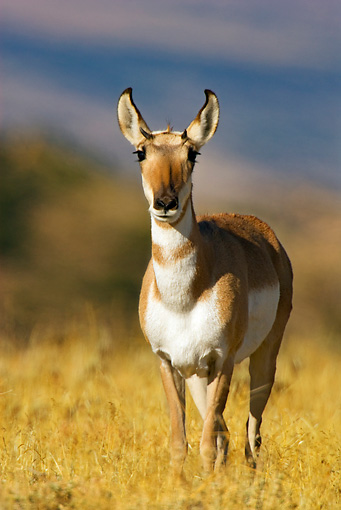 WLD 21 TL0003 01 © Kimball Stock Portrait Of Pronghorn Antelope Doe Standing In Field Facing Camera