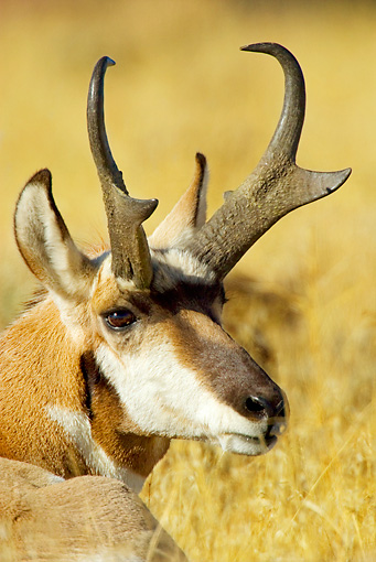 WLD 21 TL0004 01 © Kimball Stock Head Shot Of Pronghorn Antelope Buck Laying In Field