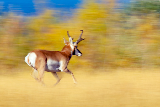 WLD 21 TL0005 01 © Kimball Stock Pronghorn Antelope Buck Running In Field Autumn