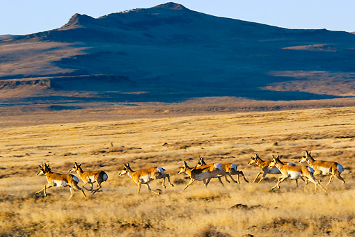 WLD 21 TL0006 01 © Kimball Stock Herd Of Pronghorn Antelope Running Across Field By Mountains Autumn