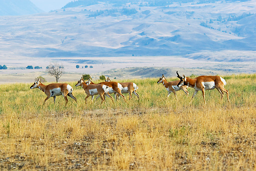 WLD 21 TL0008 01 © Kimball Stock Pronghorn Antelope Buck Herding Harem Across Plain During Autumn Rut