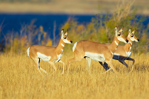 WLD 21 TL0009 01 © Kimball Stock Three Pronghorn Antelope Does Running In Field By Lake