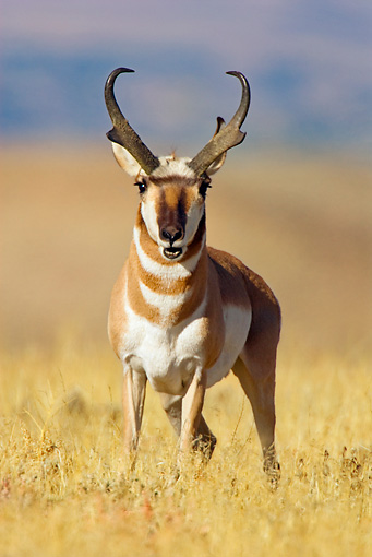 WLD 21 TL0010 01 © Kimball Stock Head On View Of Pronghorn Antelope Buck Standing In Field