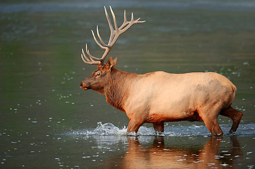 WLD 22 AC0002 01 © Kimball Stock Elk (Also Called Wapiti) Male Walking In Water In Yellowstone National Park, Wyoming, USA
