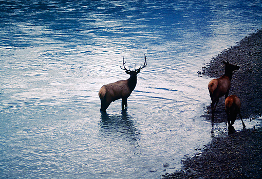 WLD 22 BA0004 01 © Kimball Stock Bull, Cow And Calf Elk Standing In Water